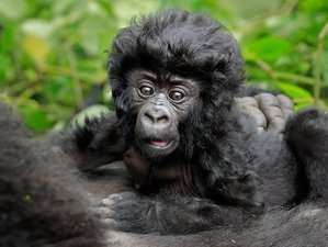 4 Days Gorilla Trekking Safari in Western Region, Uganda