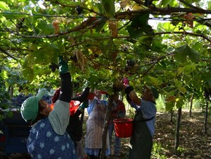 7 Days Grape Harvest, Wine and Cooking Holiday in Italy