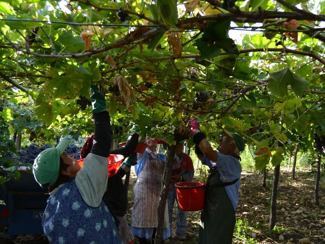 7 Days Grape Harvest, Wine, and Cooking Holiday in Abruzzo, Italy
