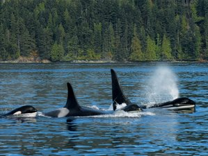 6 Day Johnstone Strait and Broughton Archipelago Expedition and Whale Watching Safari in Canada