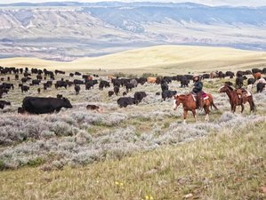 8 Day Authentic Working Cattle Ranch Vacation and Horse Riding in Lovell, Wyoming