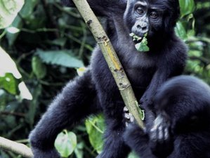 5 Days Gorilla and Wildlife Safari in Western Region, Uganda