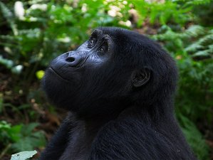 10 Days Ultimate Primate Safari in Uganda