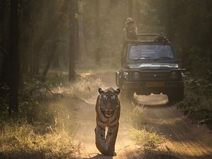 10 Days Fantastic Tiger and Wildlife Tour in The Three Best National Parks in Central India