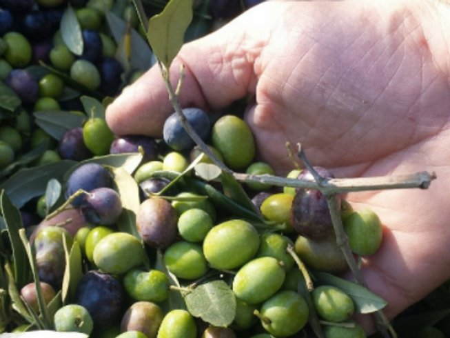 6 Days Olive Picking Experience and Yoga Retreat in Tuscany, Italy