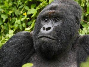 3 Days Gorilla Tracking Safari in Bwindi Impenetrable Forest, Uganda