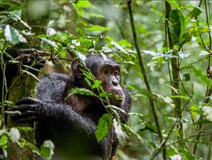 3 Days Kibale National Park Chimpanzees Safari in Uganda