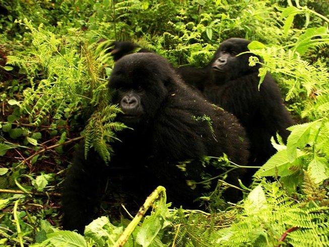 4 Days Gorilla and Chimp Trekking Safari in Uganda