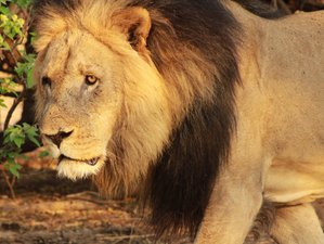 18 Day Lion Trail Botswana Safari
