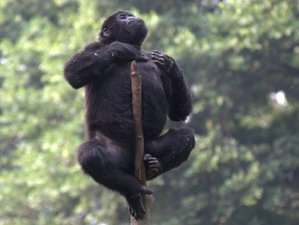 8 Days Mountain Gorilla and Chimp Adventure Safari in Uganda