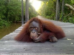 4 Day Exciting Orangutan and Wildlife Tour in Central Kalimantan, Borneo
