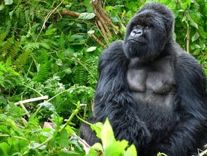 3 Days Epic Gorilla Tracking Safari in Bwindi Forest, Uganda