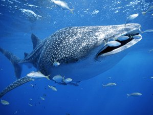 7 Day Whale Shark and Marine Turtles Snorkeling Holiday in Cancun, Quintana Roo