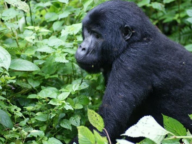 4 Days Lake Kivu and Gorilla Trekking Safari in Rwanda