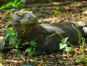 12 Days Nature, Tribes, and Komodo Dragons Safari on Flores Island, Indonesia