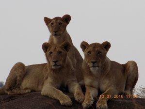 13 Days Safari Maasai Mara,Lake Nakuru,Amboseli,Arusha,Tanganyire,Ngorogoro,Serengeti,L.Manyara