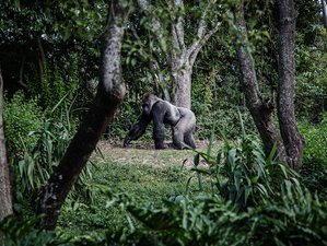 Gorilla Trekkings