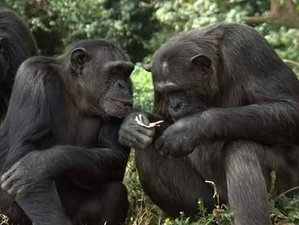 4 Days Gorilla and Chimp Trekking Safari in Uganda