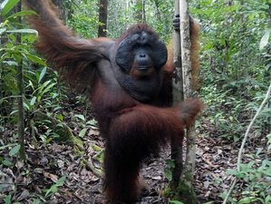 3 Days Tanjung Puting National Park Orangutan Watching Safari in Indonesia