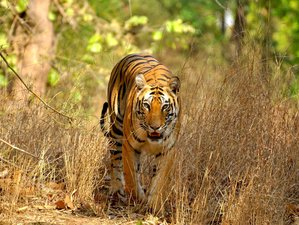 4 Day Land of the Majestic Tiger Safari in Bandhavgarh National Park
