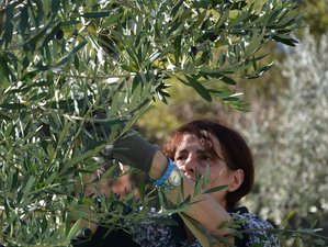 4 Day Olive Harvest and Tasting Holiday in Gubbio, Province of Perugia