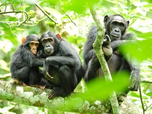 10 Days Chimp and Wildlife Safari in Uganda
