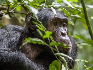 6 Days Chimp and Wildlife Safari in Uganda