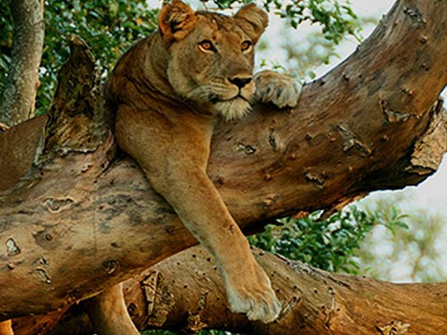 4 Days Chimp Trekking and Big-Five Safaris in Uganda