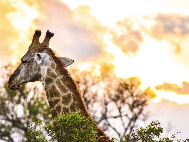 Giraffe Safaris