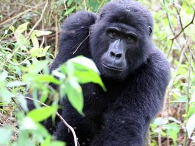 7 Days Gorilla Tracking Safari in Uganda