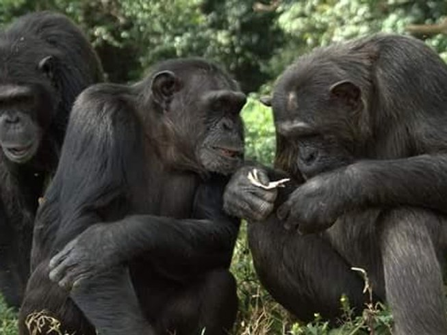6 Days Chimp and Gorilla Habituation Safari in Uganda