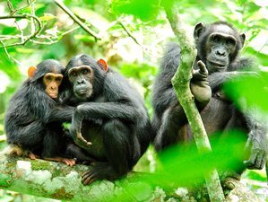 12 Days Gorilla and Chimpanzee Trekking Adventure Safari in Uganda