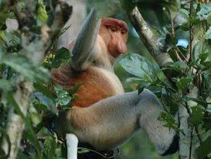 3 días de trekking de avistamiento de primates y orangutanes en Sandakan, Borneo, Malasia