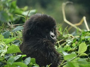 3 Days Mountain Gorilla and Golden Monkeys Safari in Rwanda