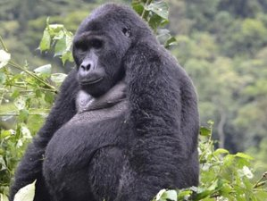 7 Days Go Gorilla, Chimpanzee Tracking and Wildlife Adventure Safari in Uganda