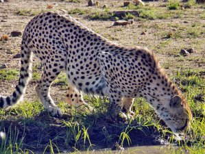 4 Days Maasai Mara and Lake Nakuru Breathtaking Budget Safari in Kenya