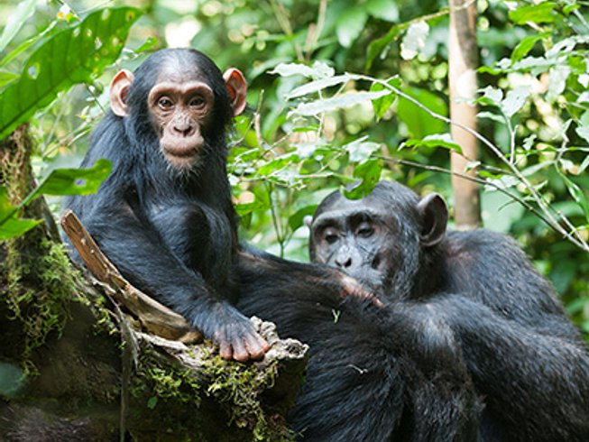 6 Days Chimpanzee Tracking Safaris in Uganda