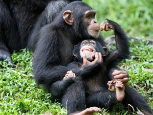 5 Days Gorilla and Chimpanzee Tracking in Uganda