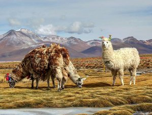 5 Day Improved Wildlife Tour from La Paz to Uyuni, Bolivia
