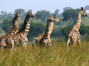 5 Days Amboseli Lake Nakuru and Masai Mara mid range driving safari