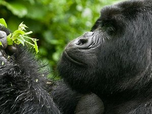 8 Days Enchanting Chimpanzee and Gorilla Safari in Uganda