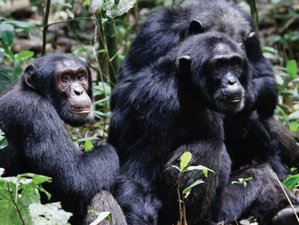 7 Days Chimpanzee Trekking and Wildlife Safari in Uganda