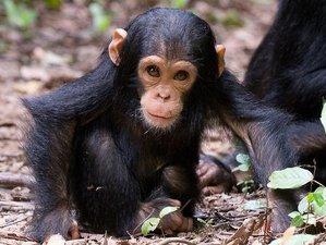 5 Days Chimpanzee Safari in Gombe Stream National Park, Tanzania