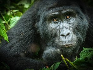 5 Days Gorilla Trekking Safari in Uganda and Virunga Mountain Hiking