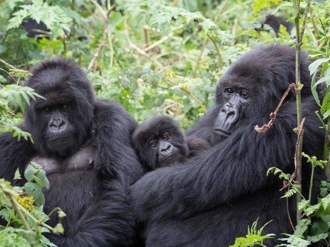 4 Days Gorilla Safari in Uganda