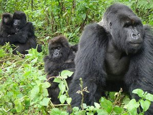 6 Days Classic Primate Adventure Safari in Uganda