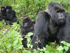 6 Days Classic Primate Adventure Safari in Uganda