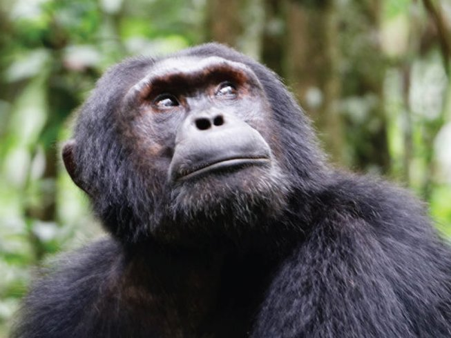 3 Days Kibale National Park Chimpanzee Safari in Uganda