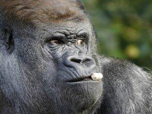 6 Day African Mountain Gorilla and Chimpanzee Habituation Safari