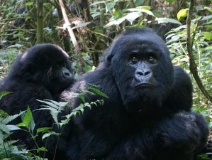 5 Days Gorilla Tracking and Wildlife Safari in Uganda